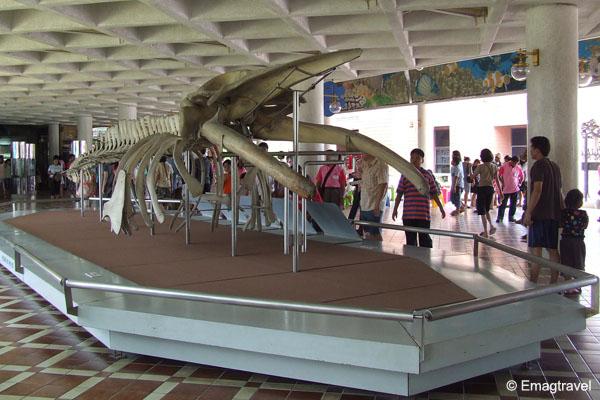 ซากโครงกระดูก ปลาวาฬบรูด้า