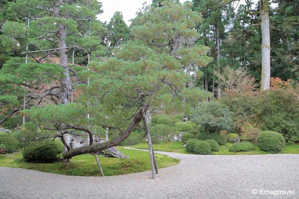 ต้นสนญี่ปุ่น