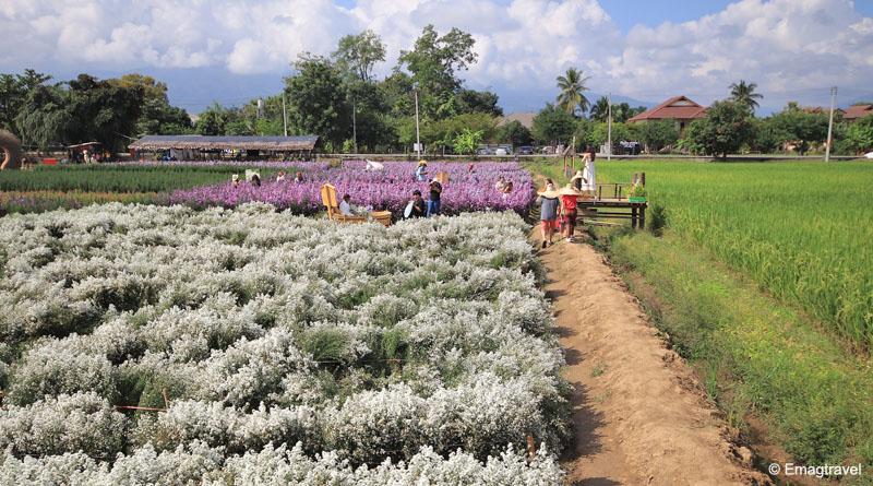 สวนดอกมากาเร็ต ป้านกเอี้ยง สวนลุงตัน แม่ริม เชียงใหม่ อัพเดท 2020
