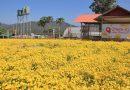 ชมดอกเก๊กฮวยเหลืองอร่าม ทุ่งดอกเก๊กฮวย ม.แม่โจ้ 900 ไร่